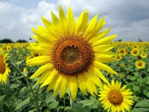 flower-sunflower-karnataka-india-floral-plant