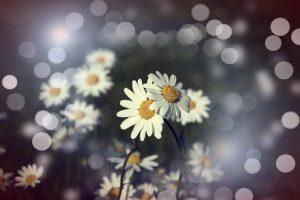 flowers-margaret-pair-bokeh-light-summer