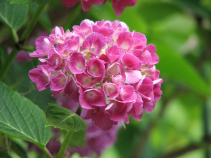hydrangea-bloom-grow-flower-green-pink-nature-1.jpg